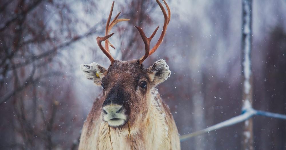 A Reindeer in Lapland, Finland
